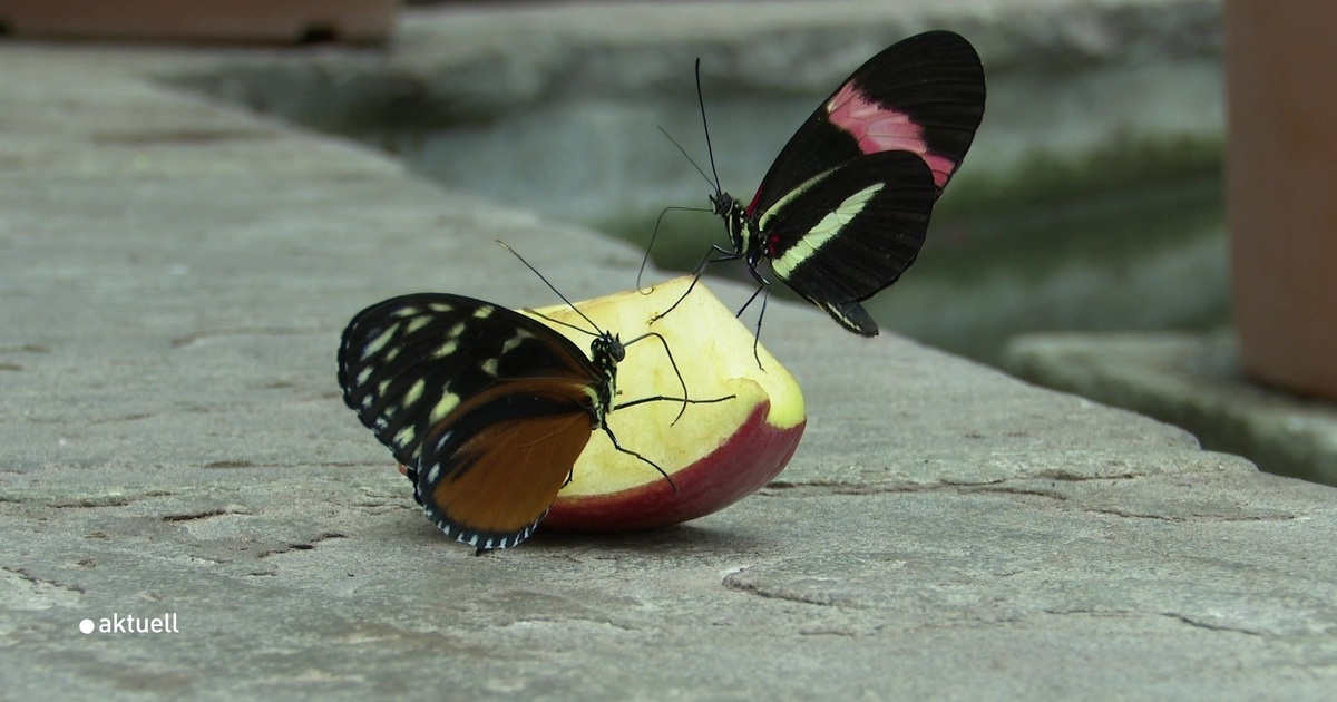 Ausstellung Tropische Schmetterlinge A Tv
